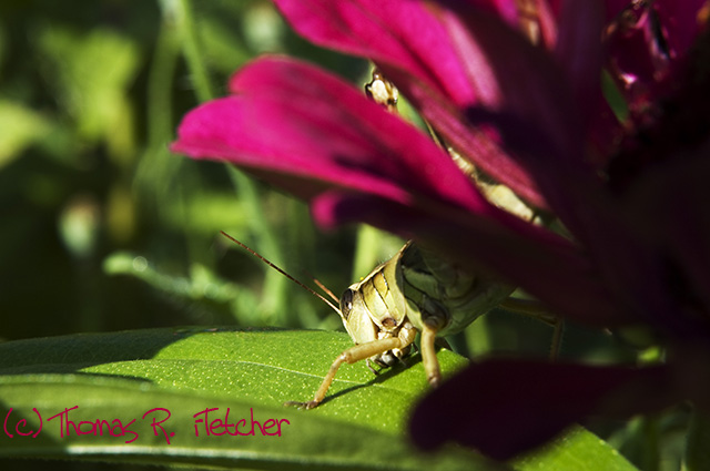 Grasshopper hiding among flowers
