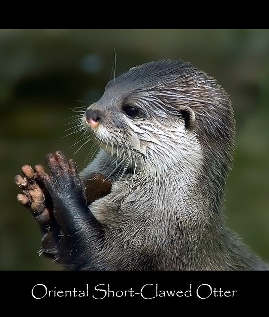 why the asian small clawed otter The oriental, or asian, small-clawed otter is the smallest otter in the world their  very short claws do not extend beyond the end of their toes this species lives in .