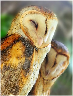 Sleepy Barn Owls....