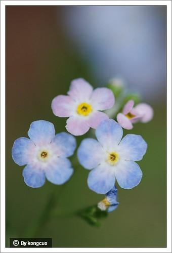 13.紫草科附地菜属钝萼附地菜1