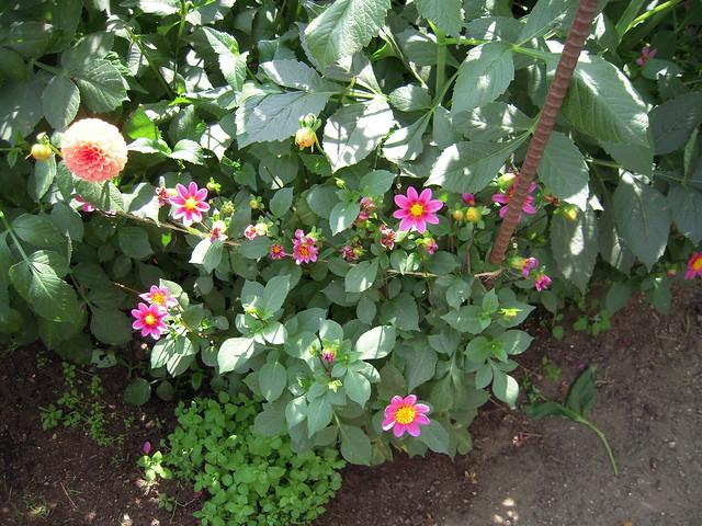 Miniature dahlias low growing shrubs and flowers are for Low growing flowering shrubs