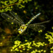hawker dragonfly over pond 2