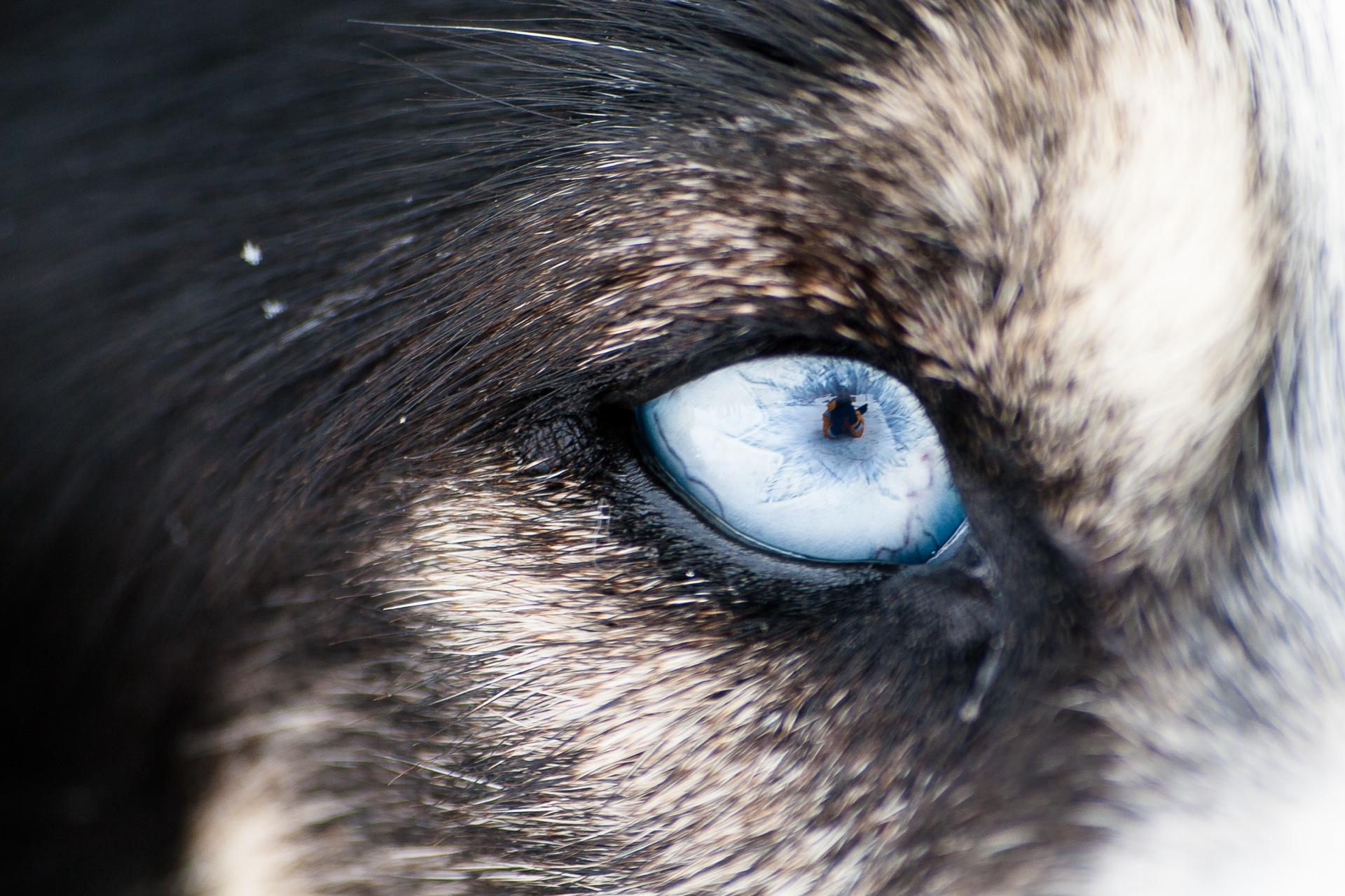 цвет волчьих глаз фото