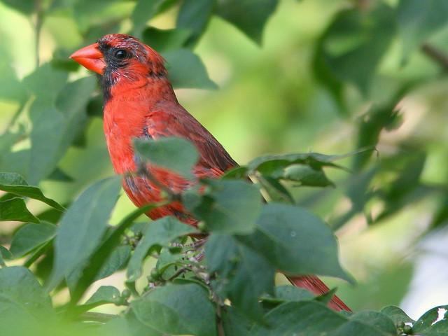 Motley Cardinal 20100826