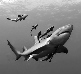 lemon shark (B&W)