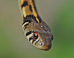 Checkered Garter Snake - Photo (c) Jerry Oldenettel, some rights reserved (CC BY-NC-SA)