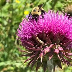 Knee deep in pollen - bee and thistle