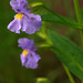 monkeyflower - Photo (c) Steve Guttman, some rights reserved (CC BY-NC-ND)