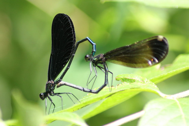 Jewelwing Love