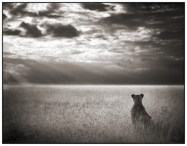 Lioness Looking Out Over Plains, by Nick Brandt