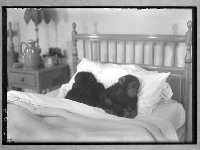 Baby Chimps, by Osa and Martin Johnson ca. 1925