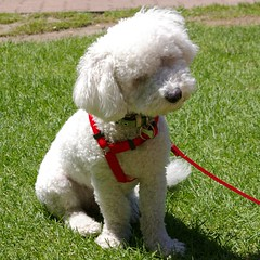 toy poodle(1.0), miniature poodle(1.0), standard poodle(1.0), bichon frisã©(1.0), dog breed(1.0), animal(1.0), dog(1.0), schnoodle(1.0), pet(1.0), lagotto romagnolo(1.0), mammal(1.0), poodle crossbreed(1.0), dandie dinmont terrier(1.0), poodle(1.0), cockapoo(1.0), spanish water dog(1.0), bolognese(1.0), barbet(1.0),