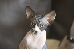 kitten(0.0), small to medium-sized cats(0.0), oriental shorthair(0.0), animal(1.0), sphynx(1.0), peterbald(1.0), pet(1.0), mammal(1.0), donskoy(1.0), cat-like mammal(1.0), close-up(1.0), cat(1.0), whiskers(1.0), devon rex(1.0), hairless cat(1.0),
