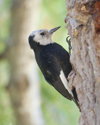 White-headed Woodpecker 20100705