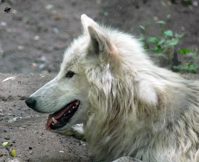Szürke farkas - Grey wolf