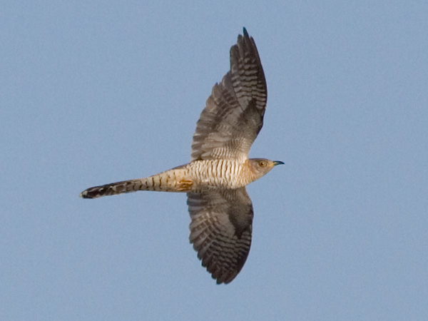 Photograph titled 'Common Cuckoo'