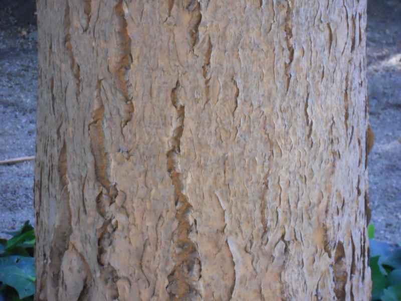 Dracaena draco tronco 2