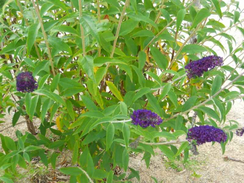 Buddleja davidii 'Black Knight' 2