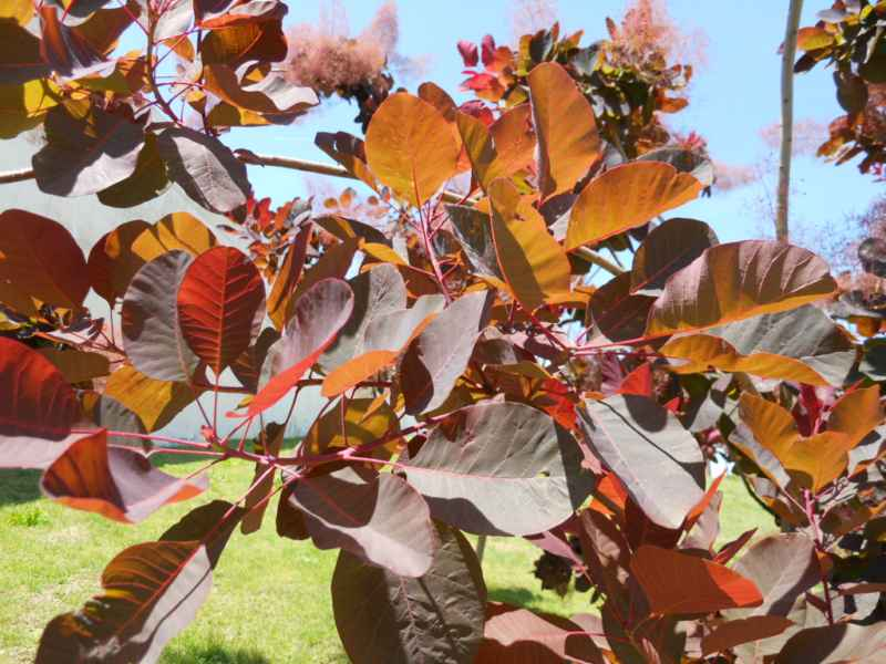 Cotinus coggygria 'Red Beauty' 3