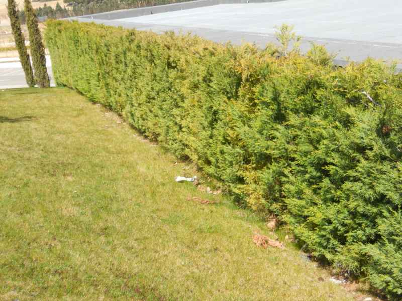 Cupressocyparis leylandii 'Castlewelland Gold' seto 1
