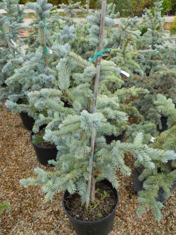 Picea pungens 'Koster' v 1
