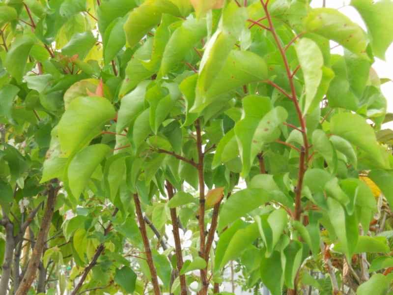 Prunus armeniaca 'Moniqui' 1