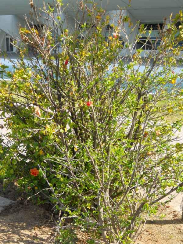 Hibiscus rosa sinensis v 2