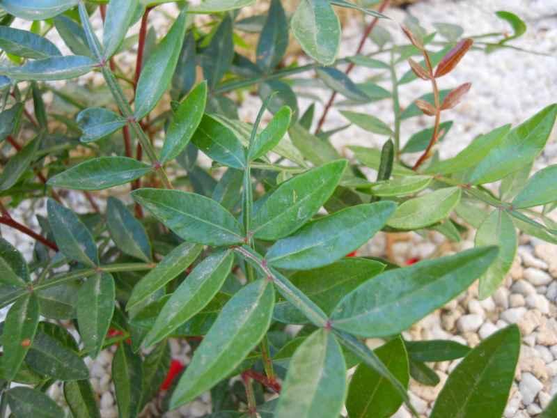 Pistacia lentiscus 5