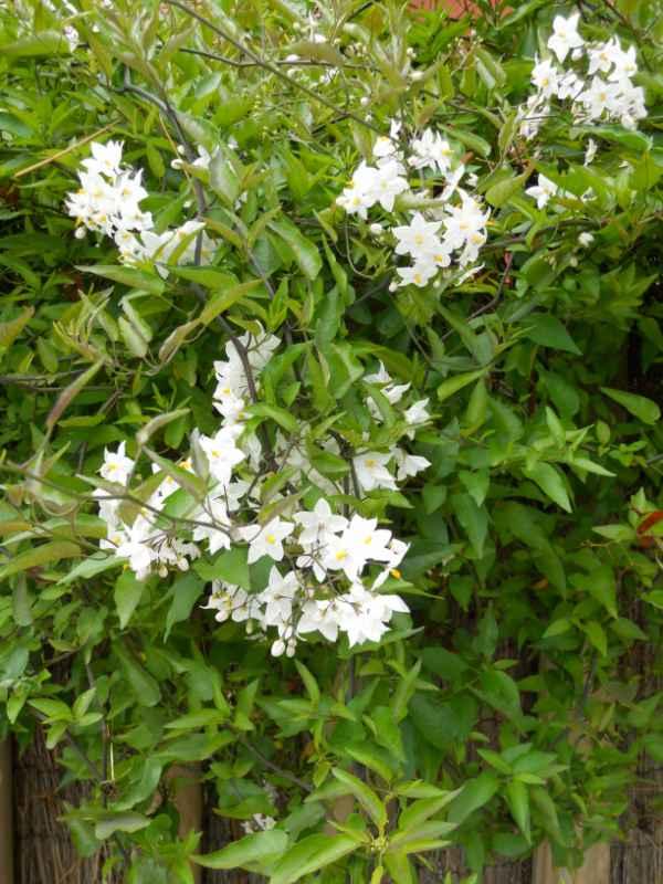 Solanum jasminoides v 1
