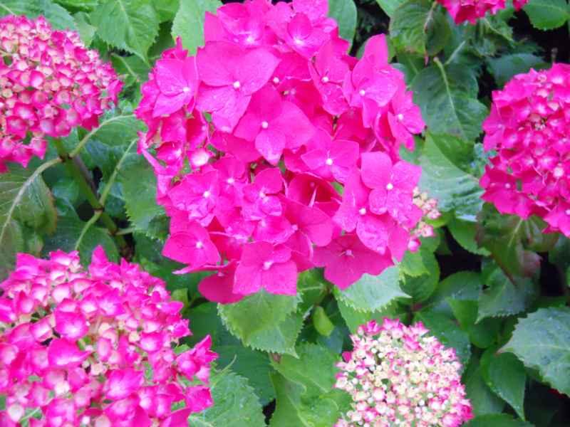 Jardineros en acci n la hortensia y sus cuidados for Hortensias cultivo y cuidados
