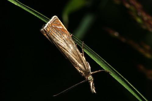 1293 Chrysoteuchia culmella Moth 38794