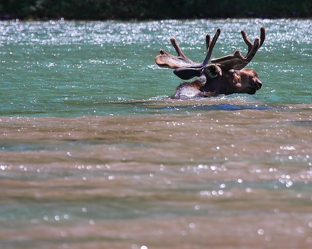 IMG_3492 Bull Moose, Glacier National Park