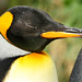 King Penguin - Photo (c) Vic B-W, some rights reserved (CC BY-NC-ND)