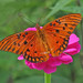 Gulf fritillary in the zinnias