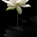 White Lotus Flower - IMG_2981-d-1000