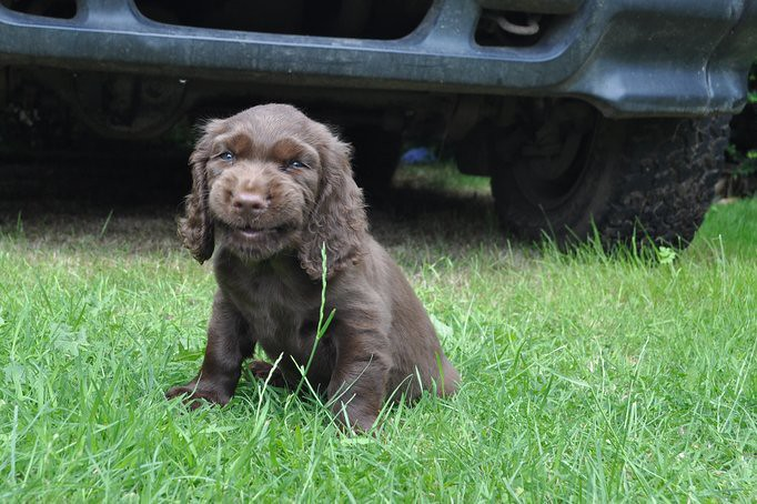 My Sussex Spaniel Puppy Smiling For The Camera This Shot I Flickr