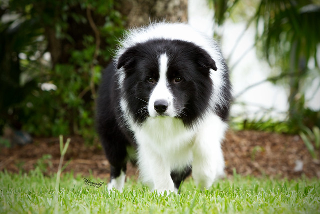 Border Collie - The smartest dog breed in the world. - a gallery on ...