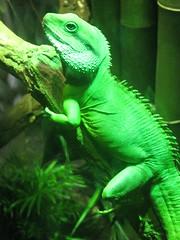 lacerta(0.0), animal(1.0), green lizard(1.0), reptile(1.0), lizard(1.0), green(1.0), fauna(1.0), african chameleon(1.0), dactyloidae(1.0), iguana(1.0), scaled reptile(1.0),