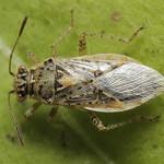 rövidfejű üvegszárnyú-poloska - Brachycarenus tigrinus