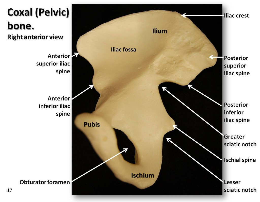 Coxal (Pelvic) bone, anterior view with labels - Appendicular Skeleton ...