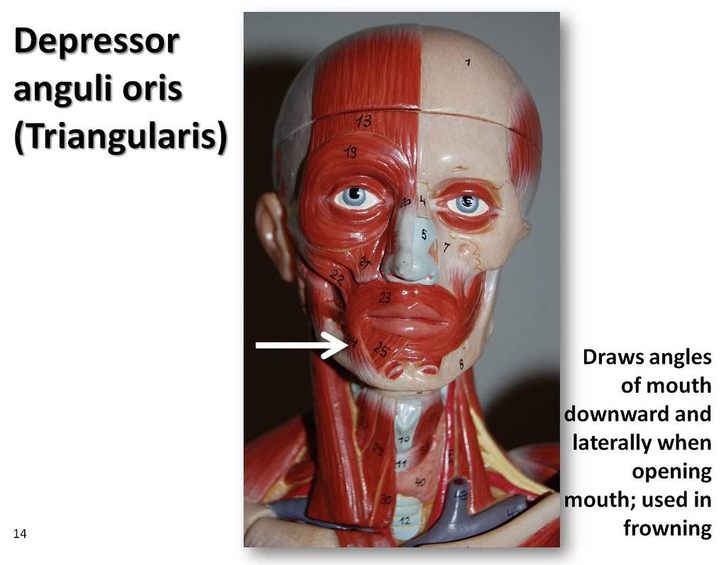 Depressor anguli oris - Muscles of the Upper Extremity Visual Atlas    Triangularis Muscle