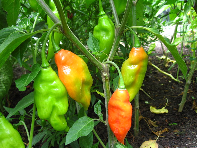 Habanero peppers (Capsicum chinense) changing colors in the Herb Garden. Photo by Rebecca Bullene.