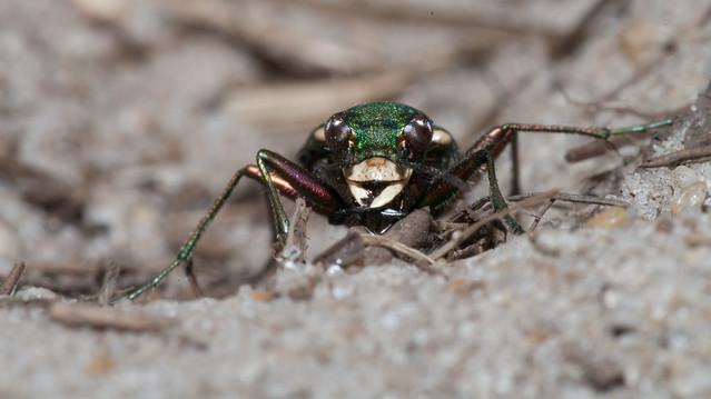 green tiger beetle head on