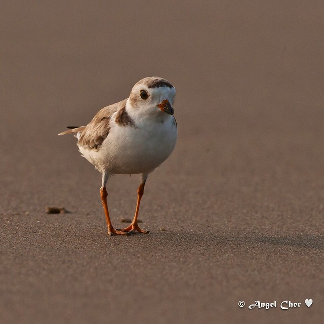 Baby piping plover - photo#9
