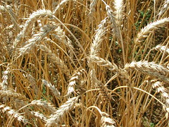 emmer, agriculture, triticale, einkorn wheat, rye, food grain, field, wheat, plant, crop, cereal,