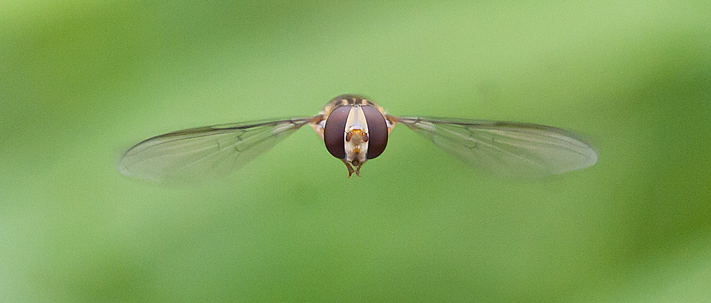 Hoverfly. Eye To Eye. Flight Shot.