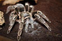 wolf spider(0.0), arthropod(1.0), animal(1.0), spider(1.0), invertebrate(1.0), macro photography(1.0), fauna(1.0), close-up(1.0), tarantula(1.0),