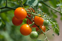 potato and tomato genus, branch, tomato, fruit,