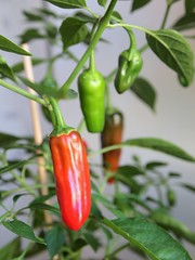 flower(0.0), produce(0.0), food(0.0), cayenne pepper(1.0), chili pepper(1.0), vegetable(1.0), serrano pepper(1.0), tabasco pepper(1.0), peppers(1.0), plant(1.0), bell peppers and chili peppers(1.0), bird's eye chili(1.0), pimiento(1.0), jalapeã±o(1.0), plant stem(1.0), habanero chili(1.0),
