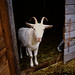 Kate + Max & Goats